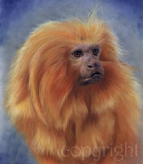 Golden lion tamarin pastel painting - wildlife art