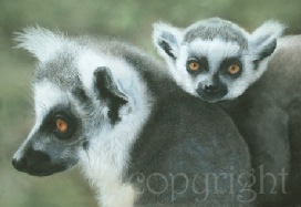 Ringtailed Lemur painting