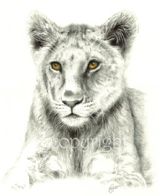 Wildlife drawing - lion cub